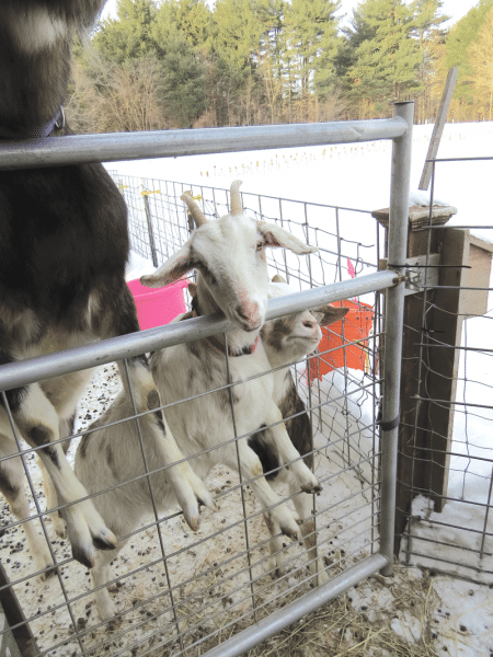 The Goat Girls' 19 goats