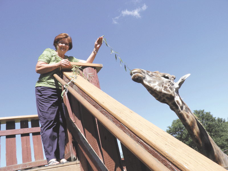 Lupa Zoo's giraffe enjoys some branches fed to him by Joan Lupa