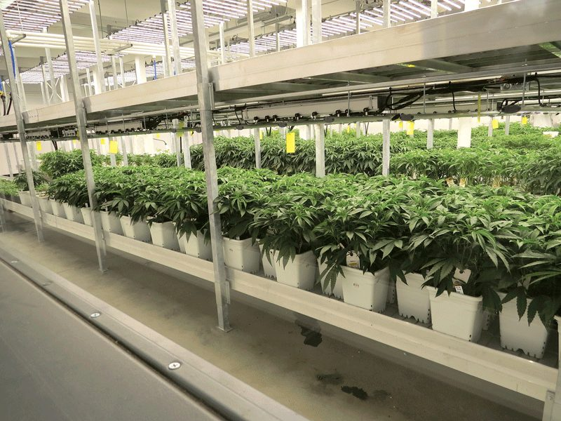GTI expects to cultivate 120 pounds of marijuana per month at its Holyoke facility.
