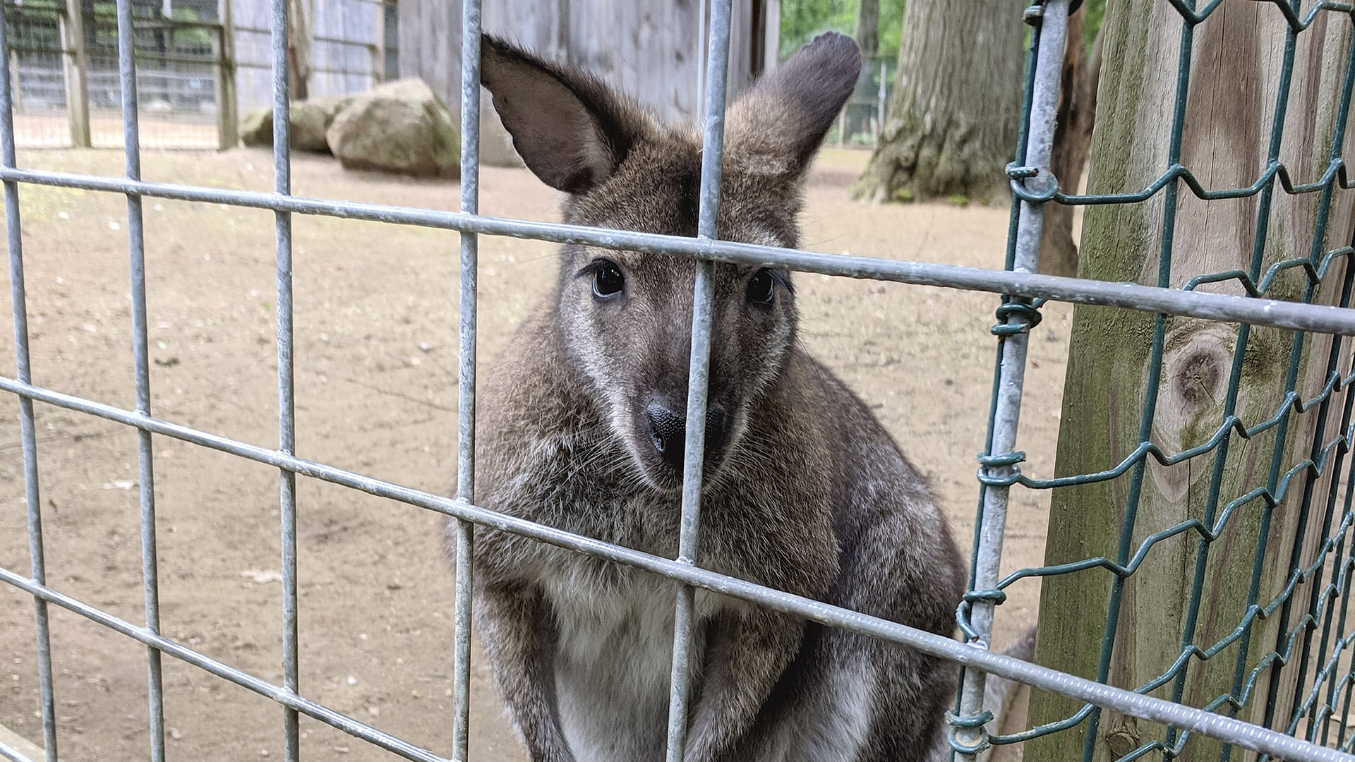 This wallaby is one of some 150 species of animals living at the Zoo in Forest Park.